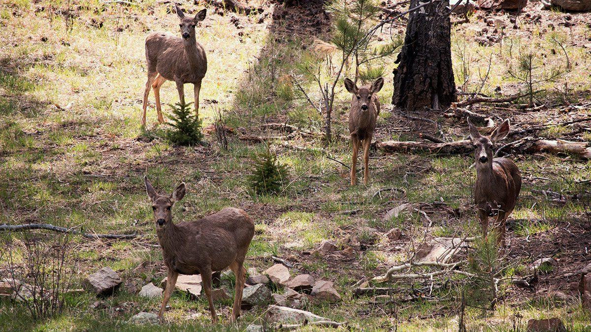 Mule deer in the Pecos