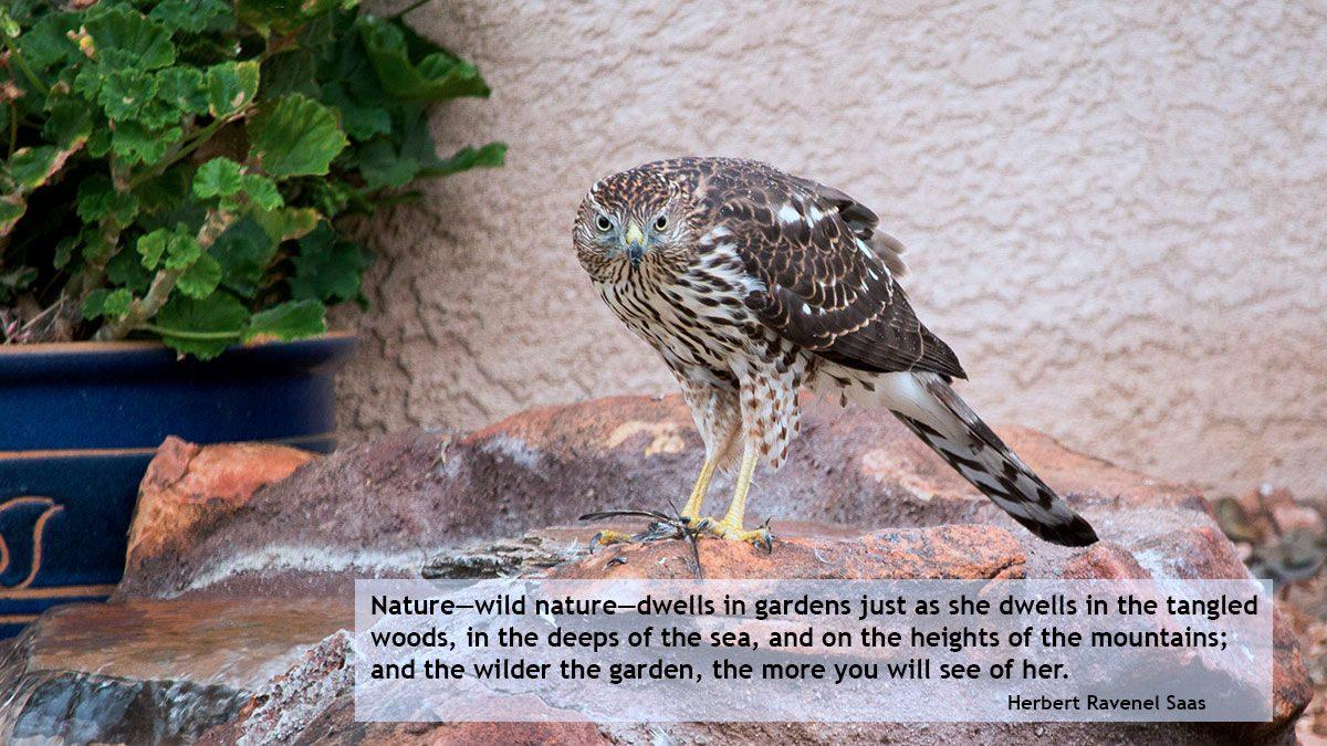 Coopers Hawk in the garden